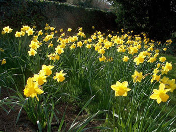 Dutch Master daffodil bulbs naturalising in bulk cheap yellow near me