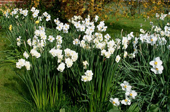 White Cheerfulness narcissus bulbs in bulk for naturalising near me