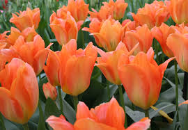Orange Cassini tulip bulb tall border spring cheap near me